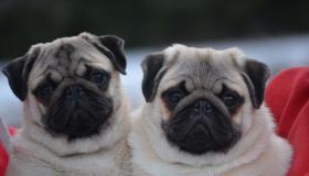 Meet Our Pugs