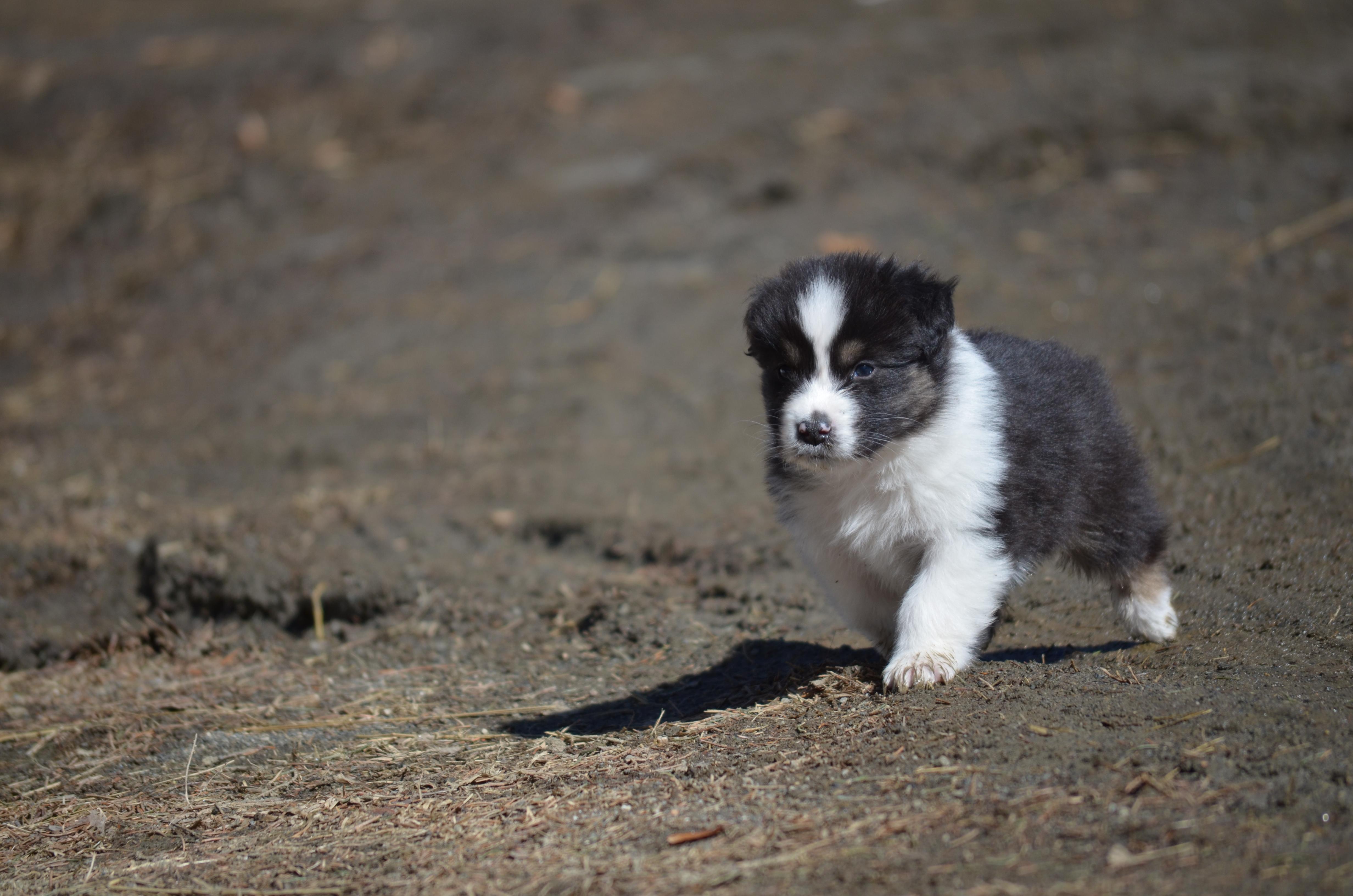 Flea x Punch Puppies Update
