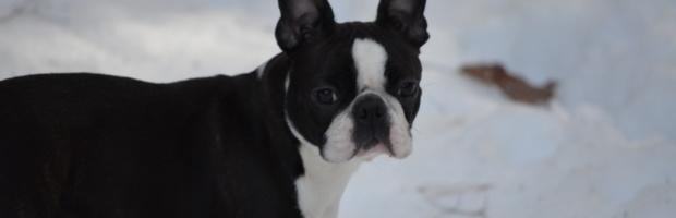 Boston Terrier Litter Announcement