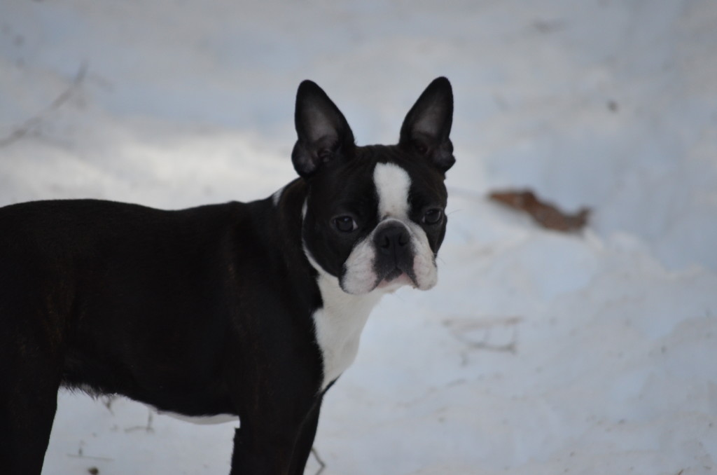 Boston Terrier Litter Announcement