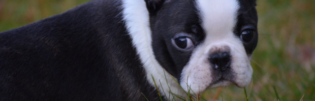 Boston Terrier Club of America National Specialty Show Wrap-Up